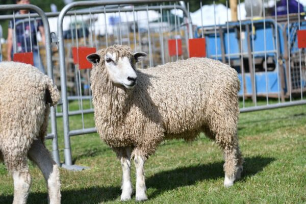 Livestock arrives for 142nd annual Driffield Show